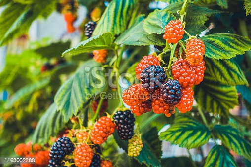 istock raspberries in black and red colors 1163002288