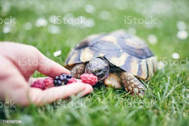 Raspberry and blackberry for home turtle picture id1162597238?b=1&k=6&m=1162597238&s=612x612&h=8bkuepa5gyzzx3udvquj ll4hcjyjb koysohydesj0=