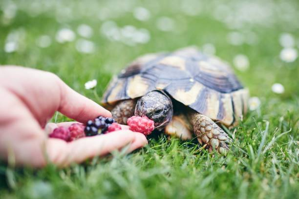 Raspberry and blackberry for home turtle Raspberry and blackberry for home turtle. Close-up view of hand with fruit for domestic pet in grass on back yard. domestic animals stock pictures, royalty-free photos & images