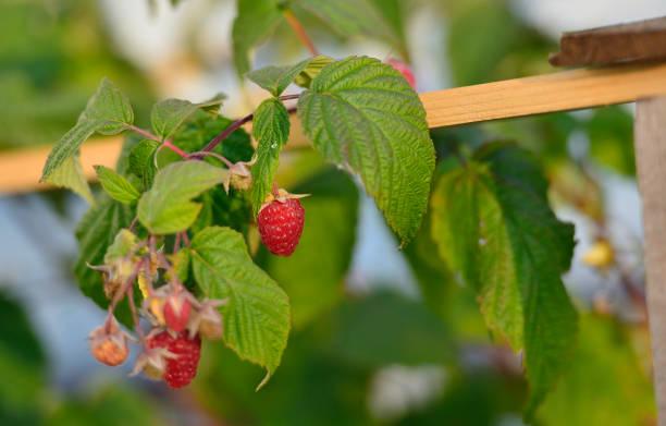 Cтоковое фото Raspberry berries