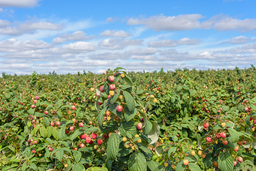 Raspberry farm at harvesting time