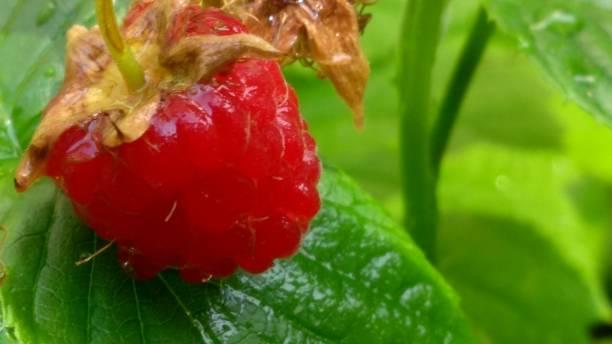 Raspberry From the Garden stock photo