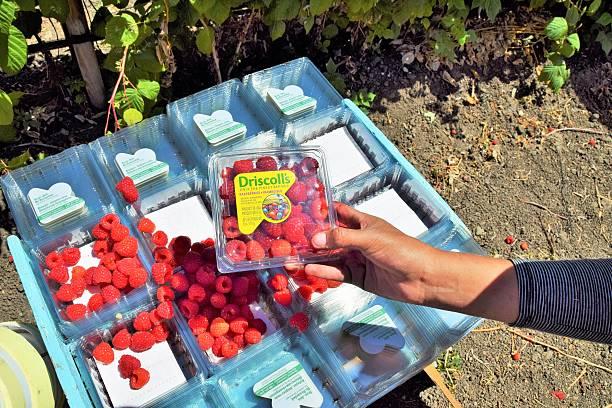 Raspberry Harvest in central California stock photo