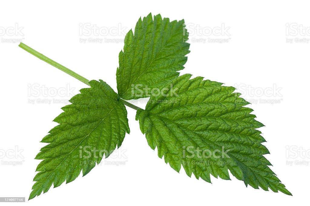 Raspberry Leaf royalty-free stock photo