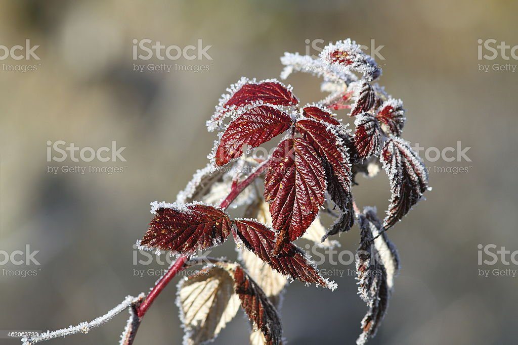 raspberry leaves covered with rime stock photo