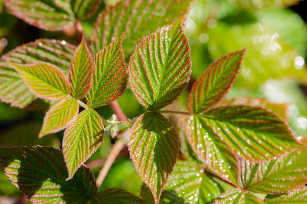 Raspberry Leaves in the morning light stock photo