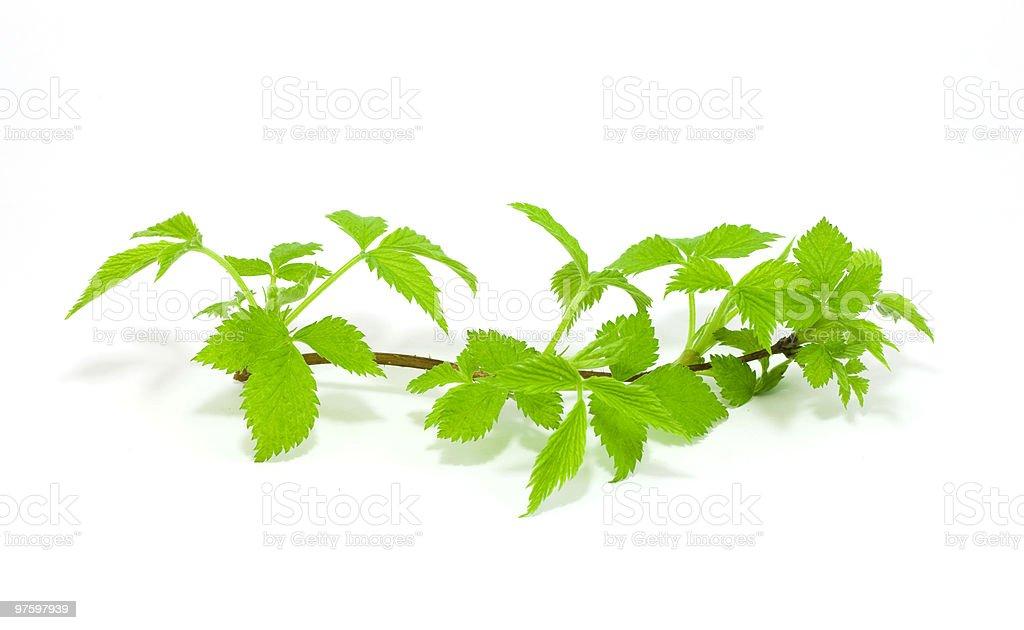 raspberry leaves isolated on white royaltyfri bildbanksbilder
