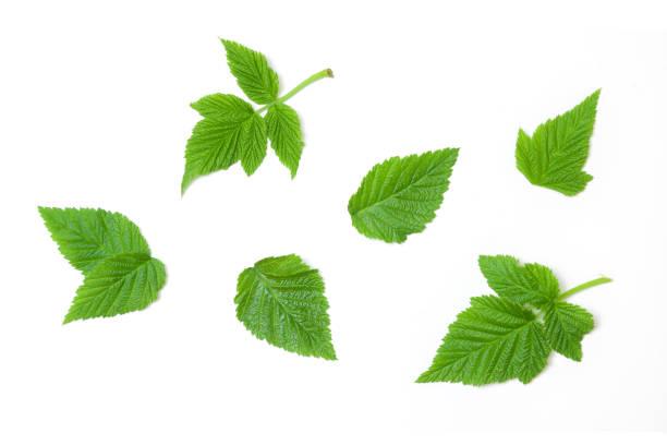 raspberry leaves isolated white background - framboesa imagens e fotografias de stock