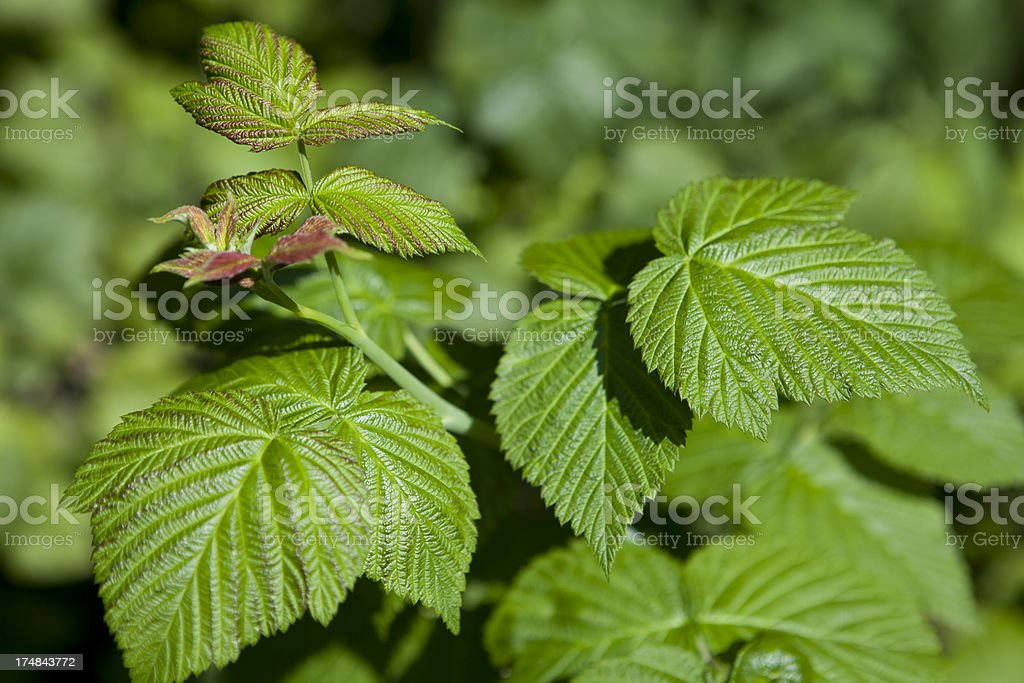 Raspberry Leaves royalty-free stock photo