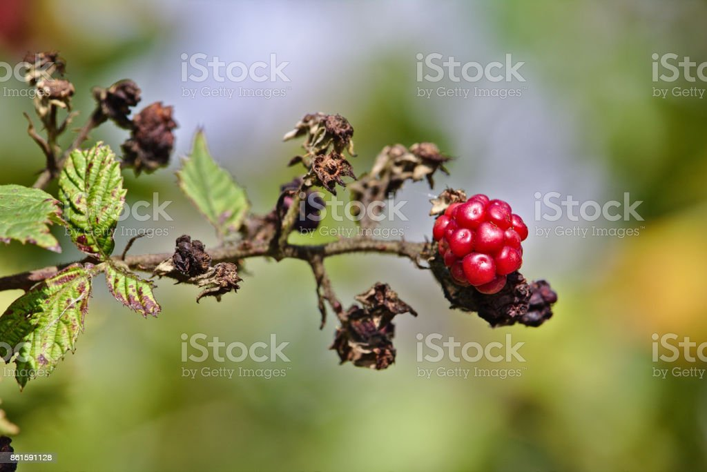 Raspberry on a branch with green and brown dead leaves stock photo