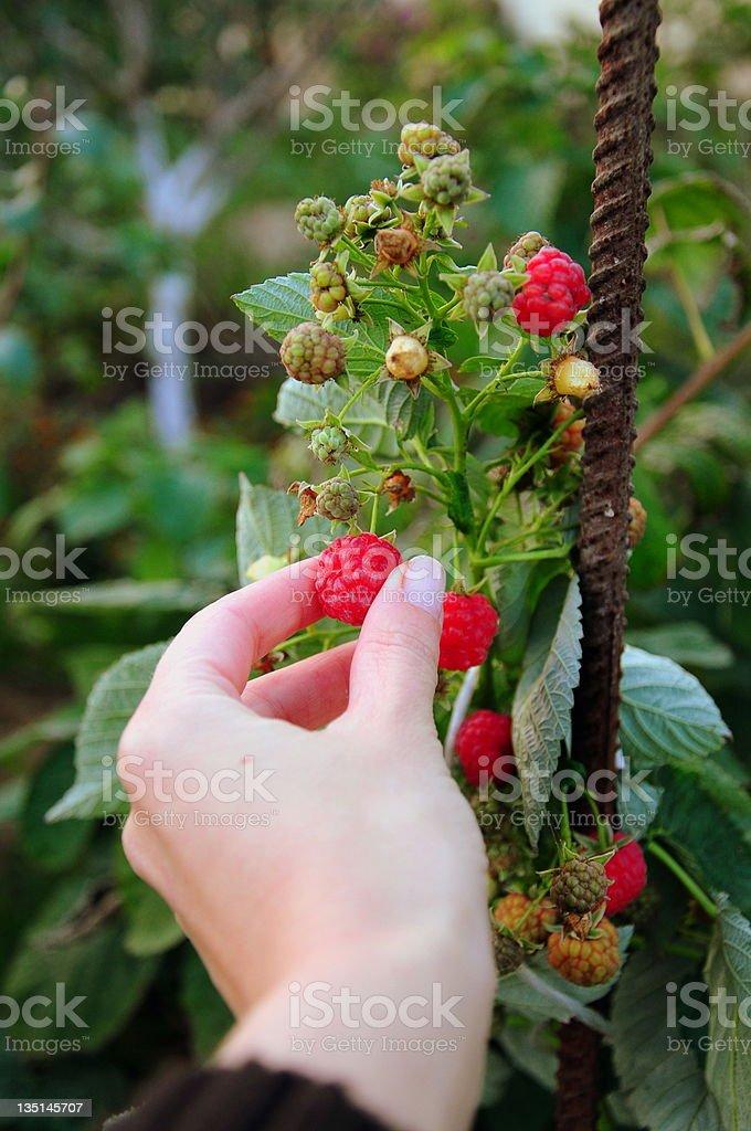 raspberry royalty-free stock photo