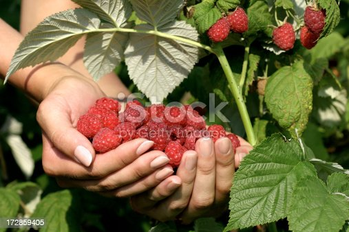 Close up of two berries of a raspberry in a females hands.