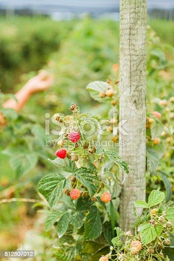 Raspberry Plant Growing In A Field