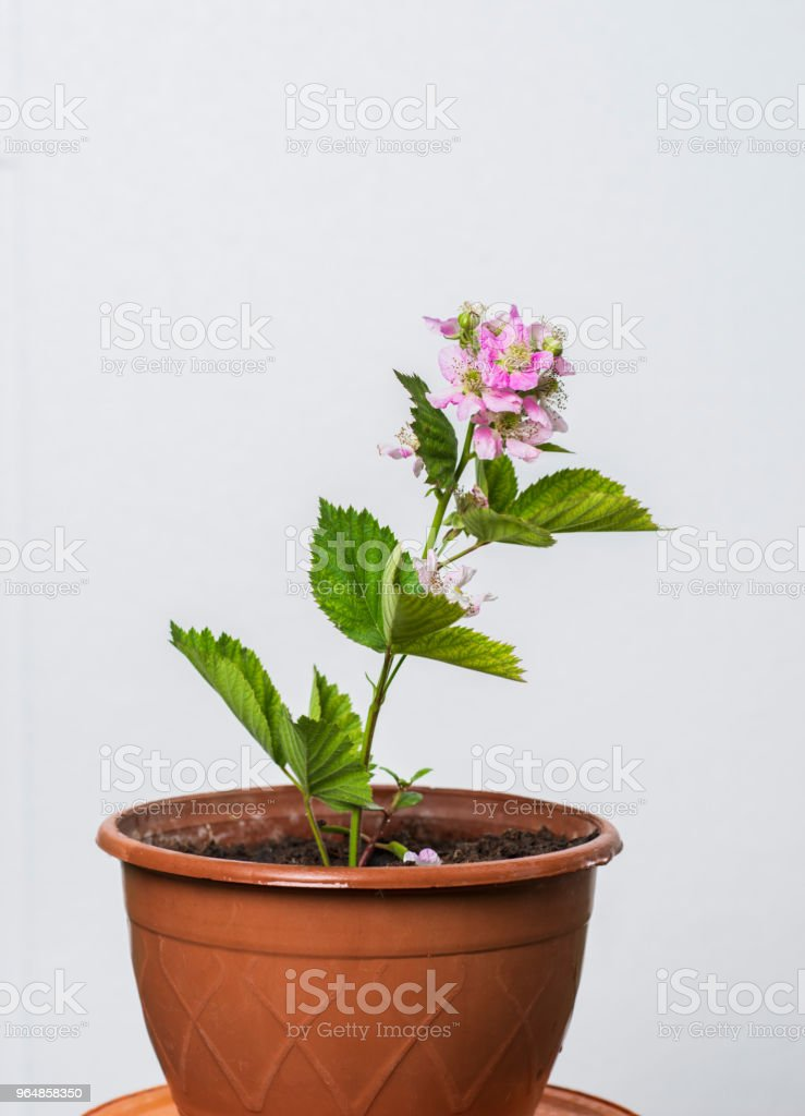 raspberry plant royalty-free stock photo