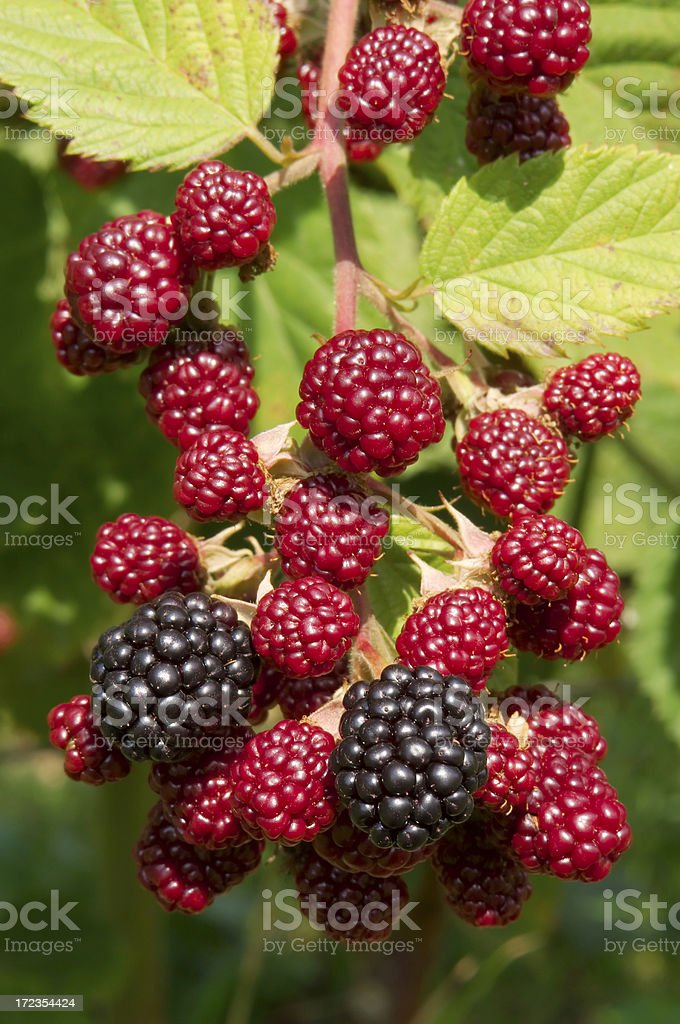Raspberry`s royalty-free stock photo