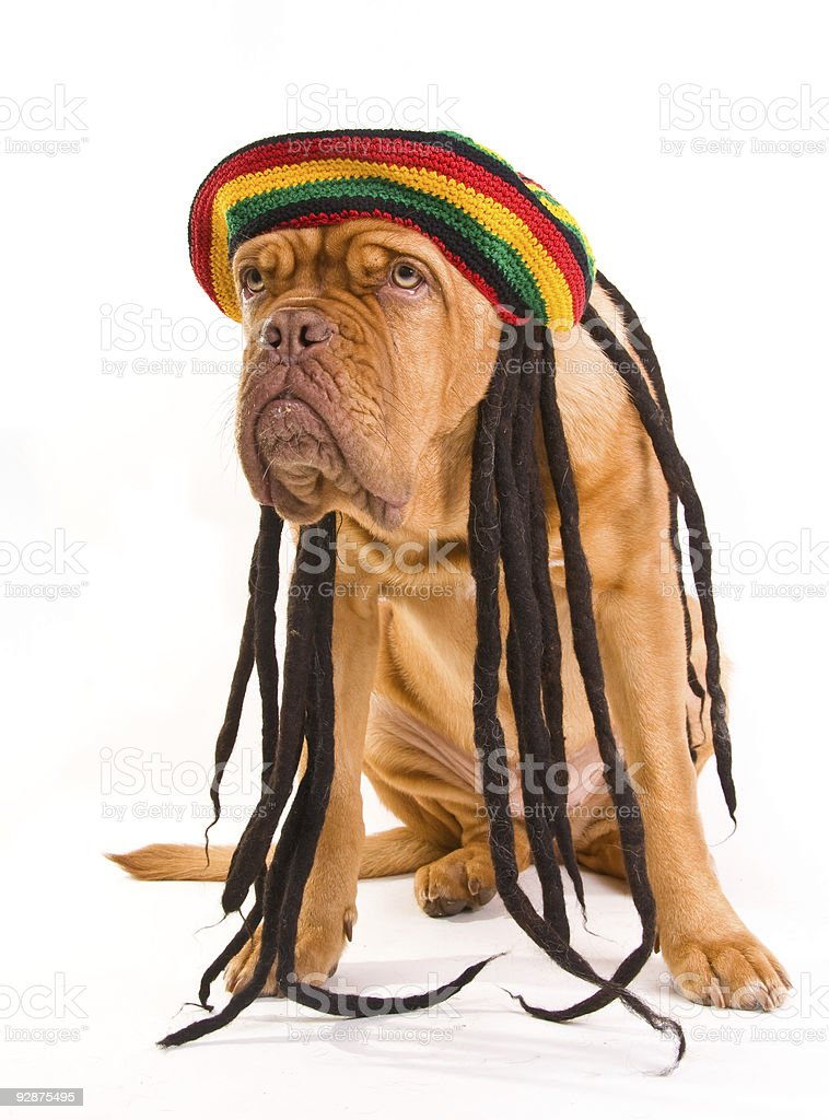 Rastafarian Hat Dog stock photo
