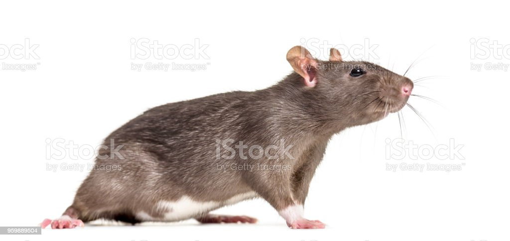 Rat , 6 months old, standing against white background stock photo