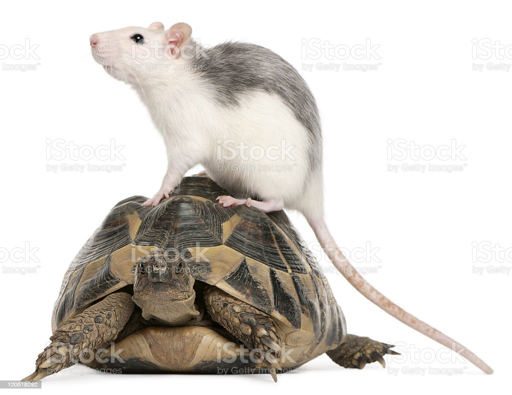 Rat and Hermann's tortoise, Testudo hermanni, white background. stock photo
