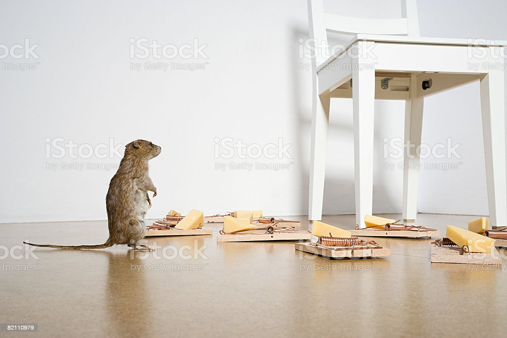 Rat and mousetraps stock photo
