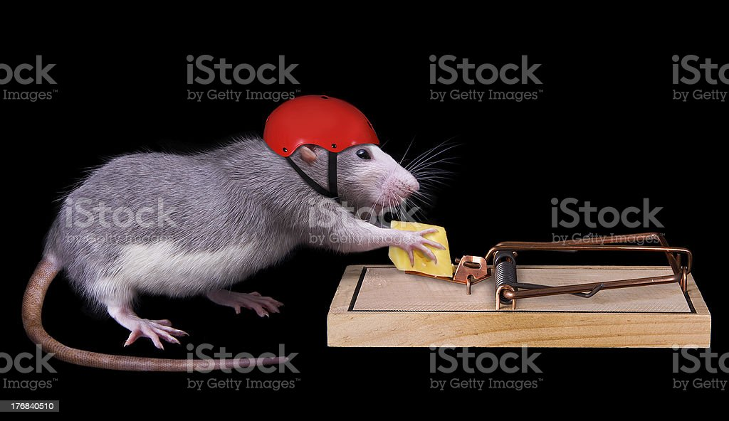 rat cheating death stock photo