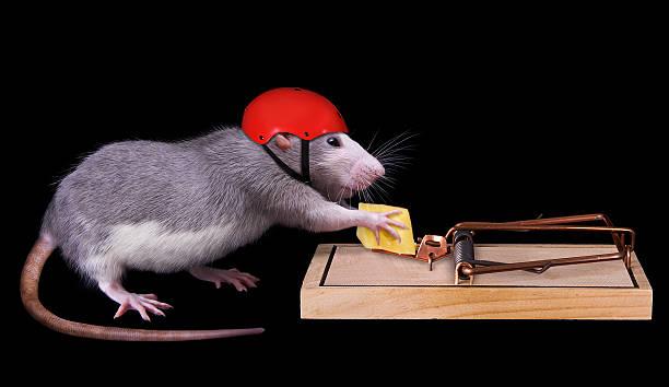 ratto tradimento decesso - trappola per topi foto e immagini stock