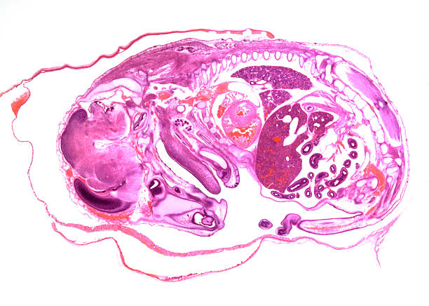 Rat embryo coloured preparation of the embryo of the rat, sagittal slice animal embryo stock pictures, royalty-free photos & images