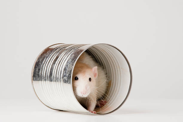 Rat hiding in a tin can stock photo
