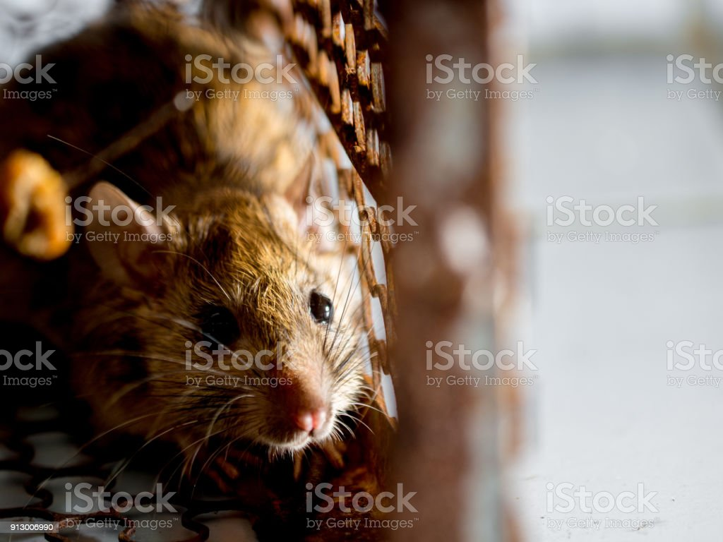 rat in a cage catching a rat. the rat has contagion the disease to humans such as Leptospirosis, Plague. Homes and dwellings should not have mice. concept of Sanitation and Health. animal control stock photo