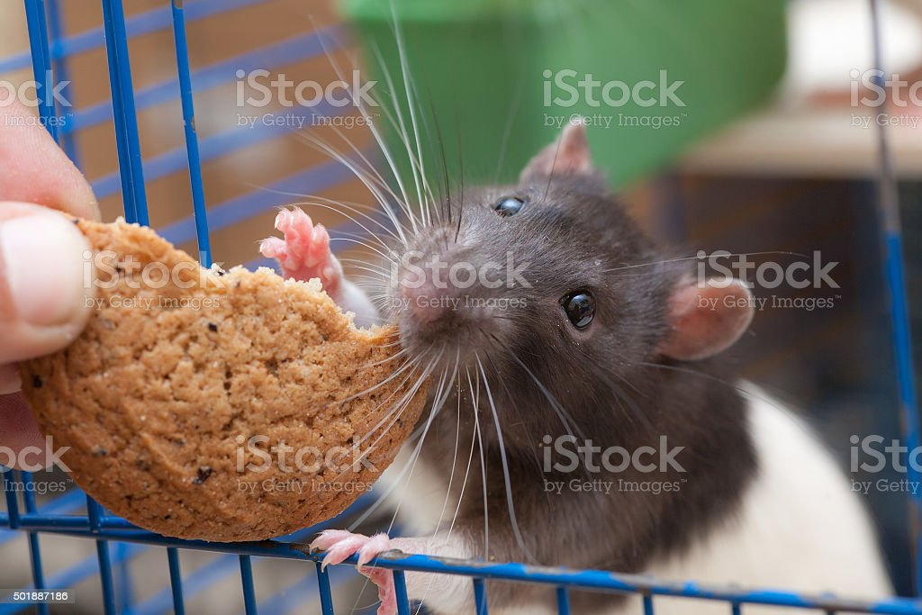 rat in a cage eating cookies stock photo