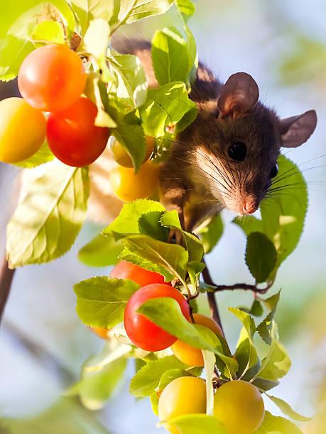 rat in a tree - zwetschgenmus stock-fotos und bilder