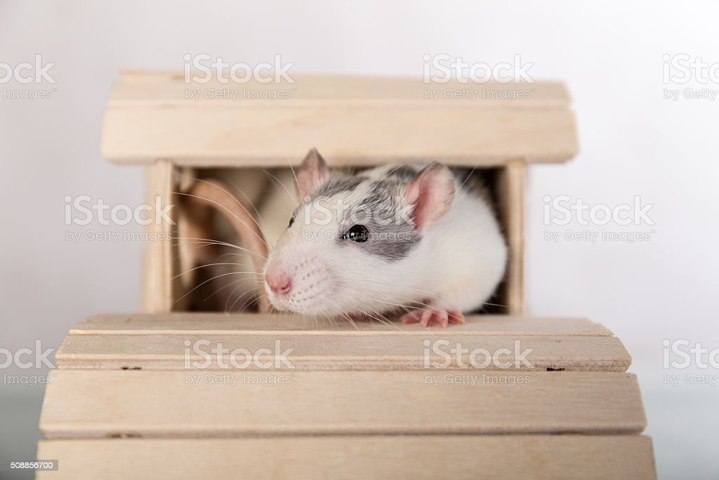 Fabulous Rat In A Wooden House Stock Photo More Pictures Of Animal Interior Design Ideas Oteneahmetsinanyavuzinfo