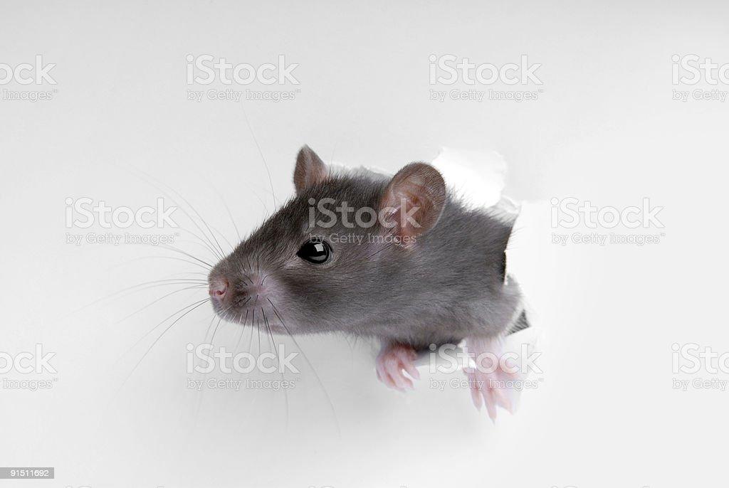 Rat in hole stock photo