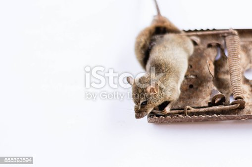 495695633 istock photo rat in mice trap on white background 855363594