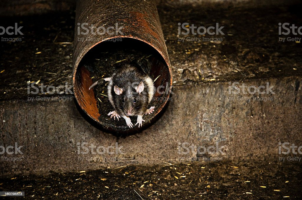 rat in the canalization stock photo