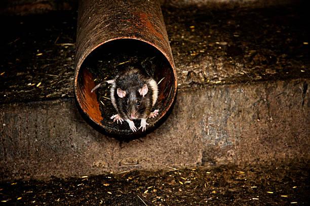 rat au canalization - Photo