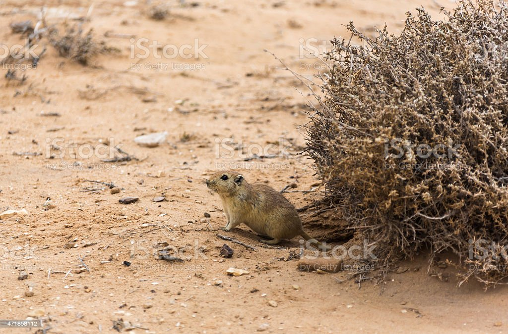 rat in the desert stock photo