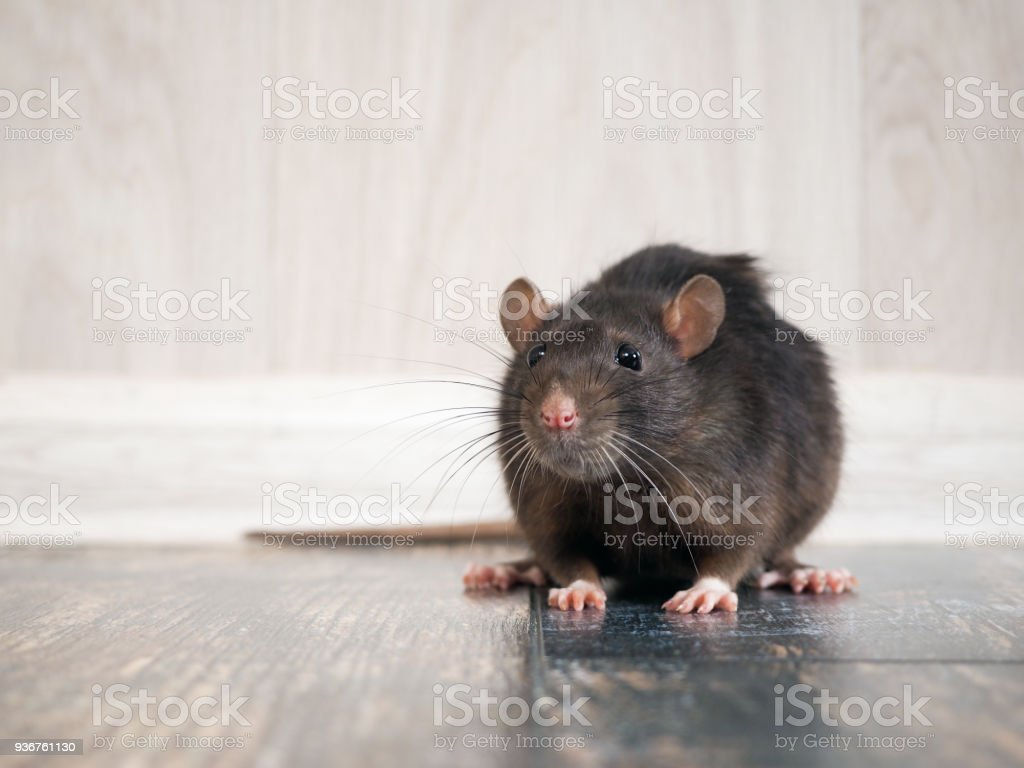 Rat in the house on the floor stock photo