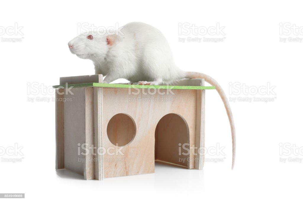 Rat in the house stock photo