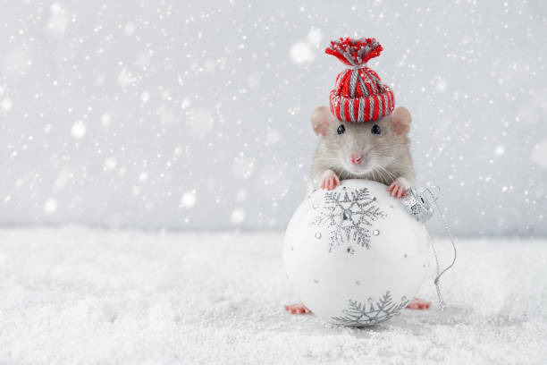 Rat in winter hat holding glass ball decoration Rat in winter hat holding Christmas white ball decoration in snowy weather. Chinese new year 2020 creative concept. funny christmas stock pictures, royalty-free photos & images