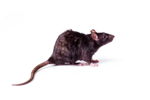 rat isolé sur fond blanc - Photo