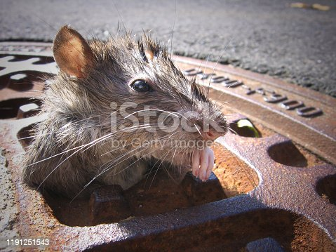 Rat - Looking Through A Gully Cover