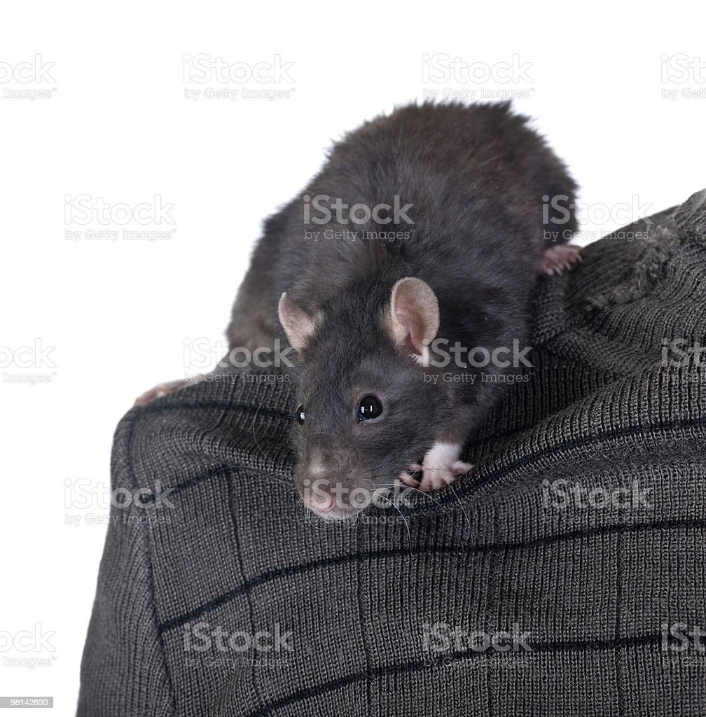 rat on a shoulder royalty-free stock photo