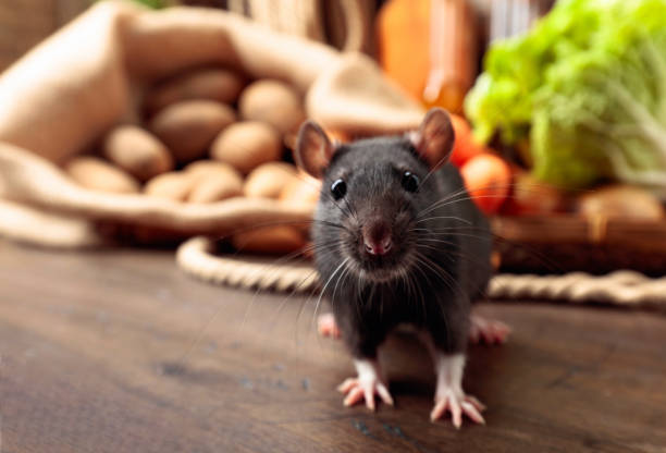 Rat on a wooden table with vegetables and kitchen utensils. stock photo