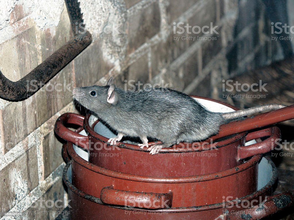 Rat on Cooking Pots stock photo