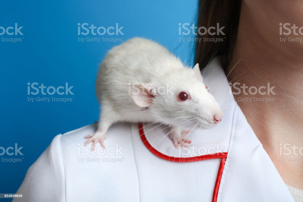 Rat on the girl's shoulder stock photo