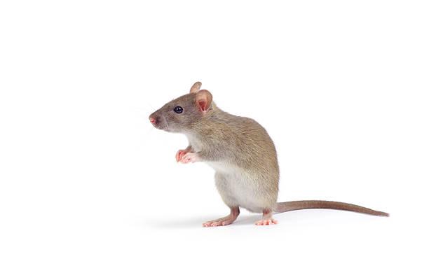 rat圖像檔