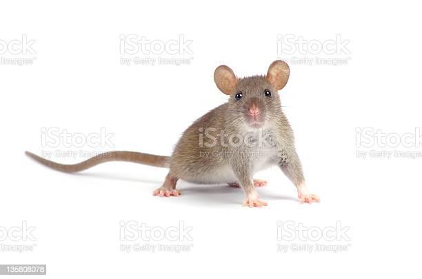 Rat picture id135808078?b=1&k=6&m=135808078&s=612x612&h=x5sg4vxlze2pb6ojjotbvenhztgx8wm zq7vxz6husw=