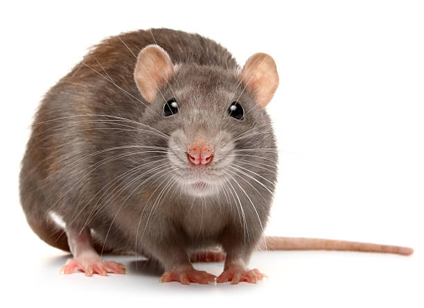 rat - Photo