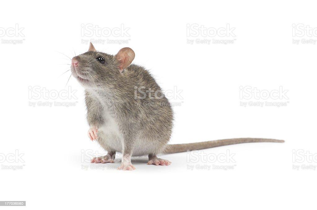 rat - 免版稅人的耳朵圖庫照片