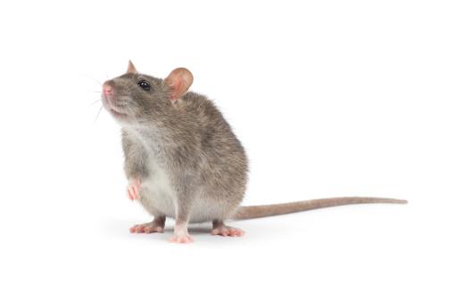 Rat 照片檔及更多 人的耳朵 照片